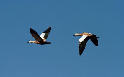 Avifauna de Lanzarote – Incidencias y conservación
