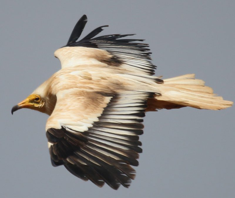 Egyptian vulture lanzarote