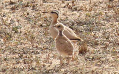 Tendencias poblacionales recientes y distribución de aves esteparias en las Islas Canarias orientales