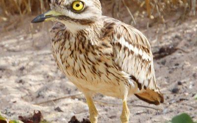 Las especies de aves en el Jable